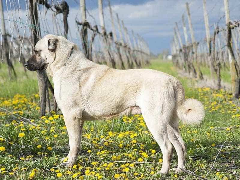 Chó chăn cừu Thổ Nhĩ Kỳ