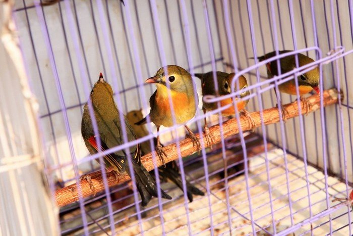 Top 5 địa chỉ bán chim cảnh đẹp, giá tốt tại Hà Nội