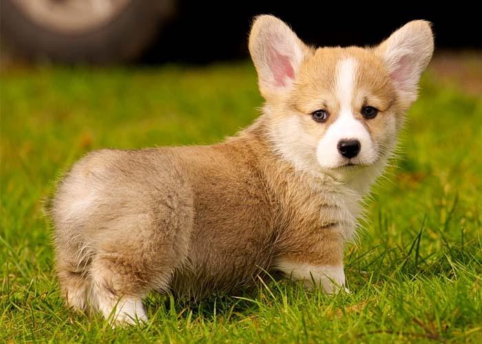Chú chó Corgi chân ngắn vô cùng dễ thương