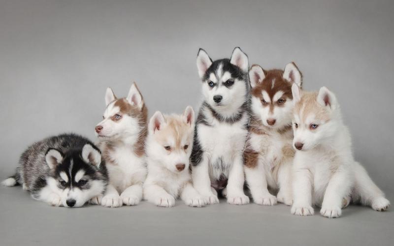 Những chú chó Husky xinh đẹp