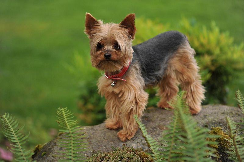 Chó Yorkshire