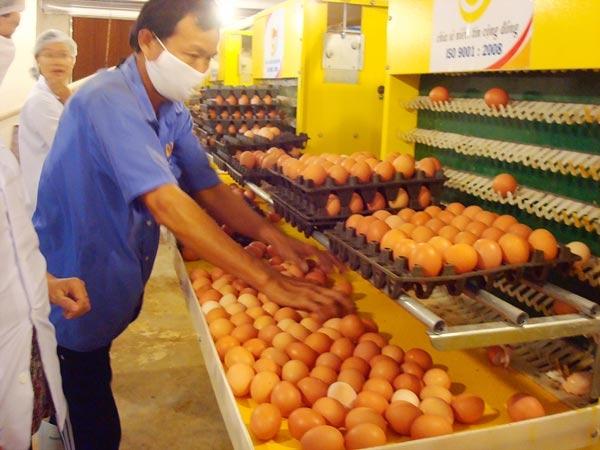 Công ty cổ phần giống gia cầm Lượng Huệ - địa chỉ tin cậy cung cấp trứng gà sạch