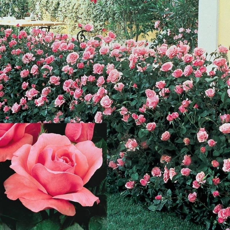 Hạt giống hoa hồng Grandiflora