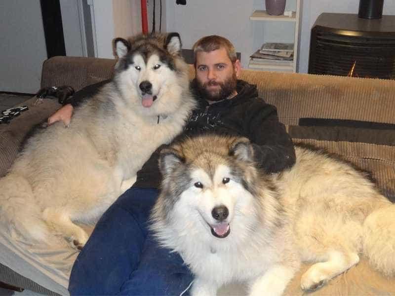 Giant Alaskan Malamute (Chó Alaska khổng lồ)