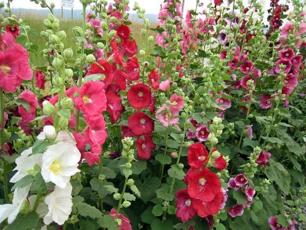 Giống hoa Mãn đỉnh hồng