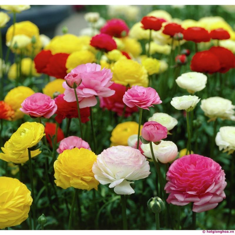 Hạt giống hoa Hồng Ri Ba Tư