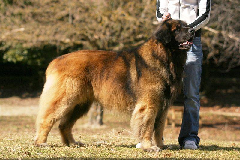 Leonberger (Chó sư tử Đức)