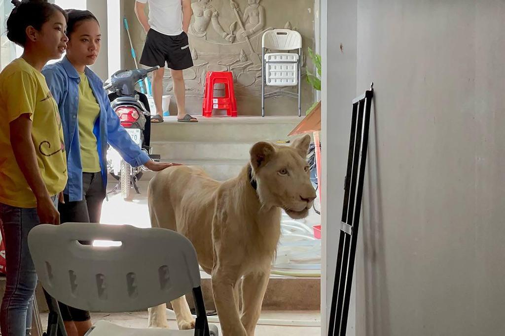 Sư tử TikTok và nạn nuôi động vật hoang dã làm thú cưng ở Campuchia
