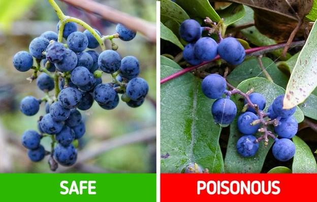 Top 9 Loại cây dễ nhầm lẫn có thể gây nguy hiểm mà chúng ta cần lưu ý