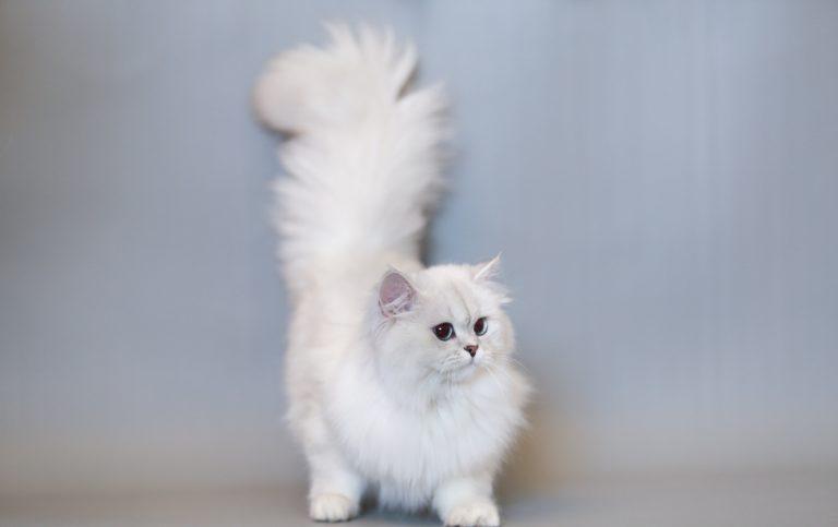 Top 5 Giống mèo kiển phổ biến được ưa chuộng tại Việt Nam