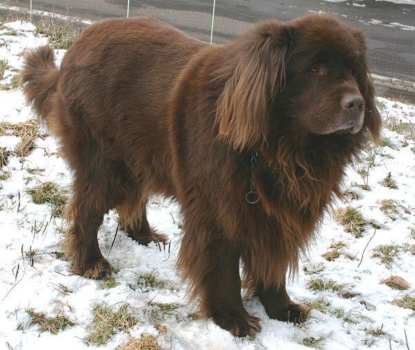 Một chú chó Newfoundland đang