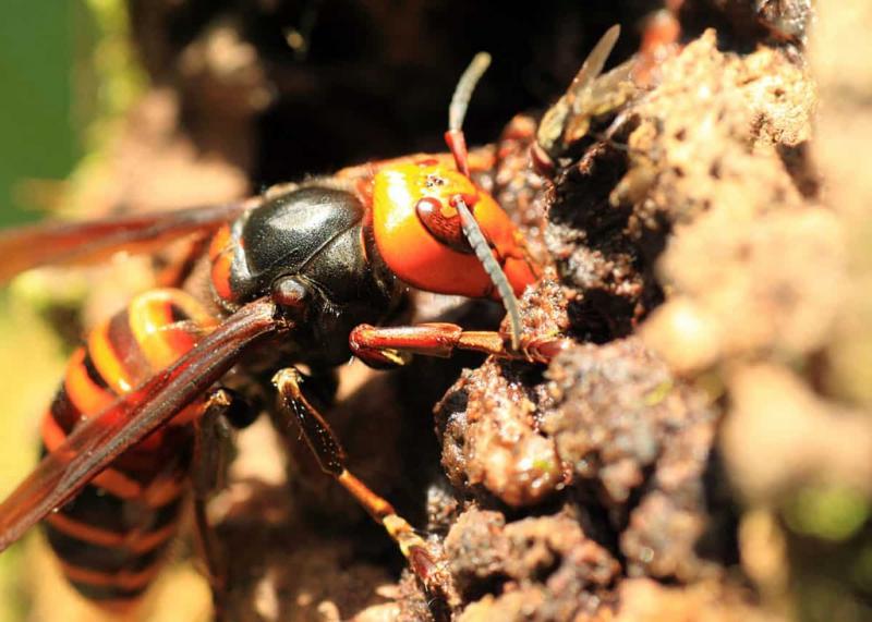 Ong bắp cày khổng lồ châu Á