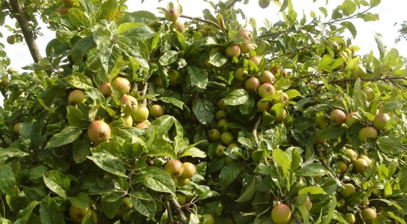 Cây táo mèo sai trĩu quả
