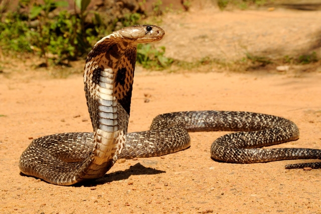 Mỗi năm, số người tử vong do rắn hổ mang Châu Á lên tới con số đáng báo động.