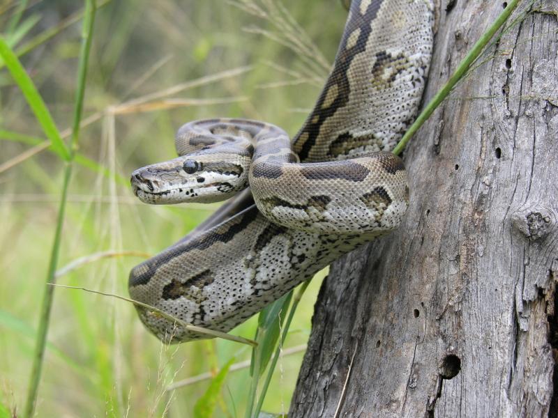 Rắn Scrub Python