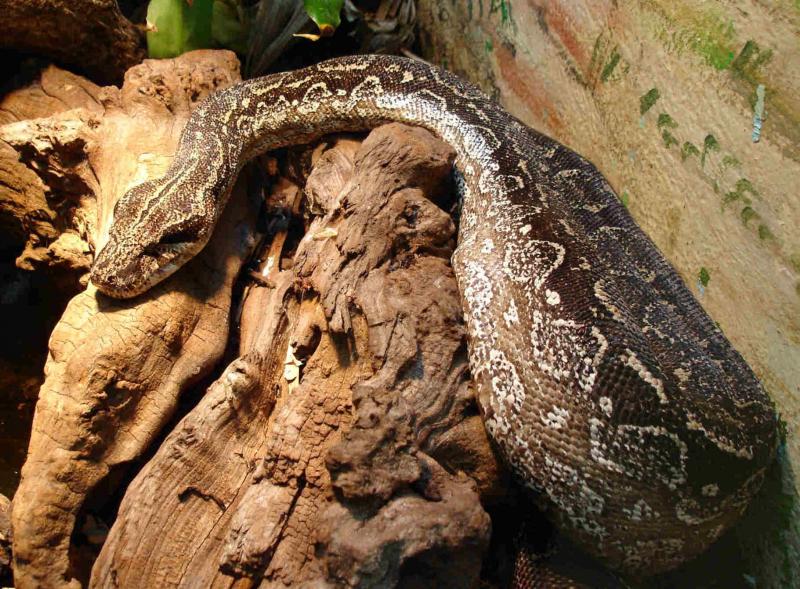 Rắn xiết mồi (Boa constrictor)