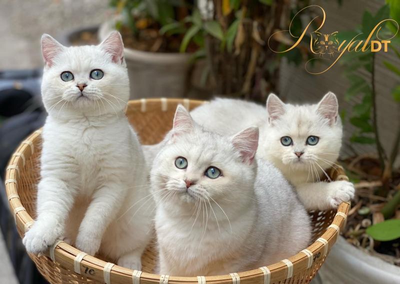 Top 5 Địa chỉ bán mèo Anh lông ngắn uy tín nhất tại TP. Hồ Chí Minh