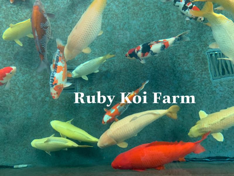 Ruby Koi Farm - Cá chép Nhật