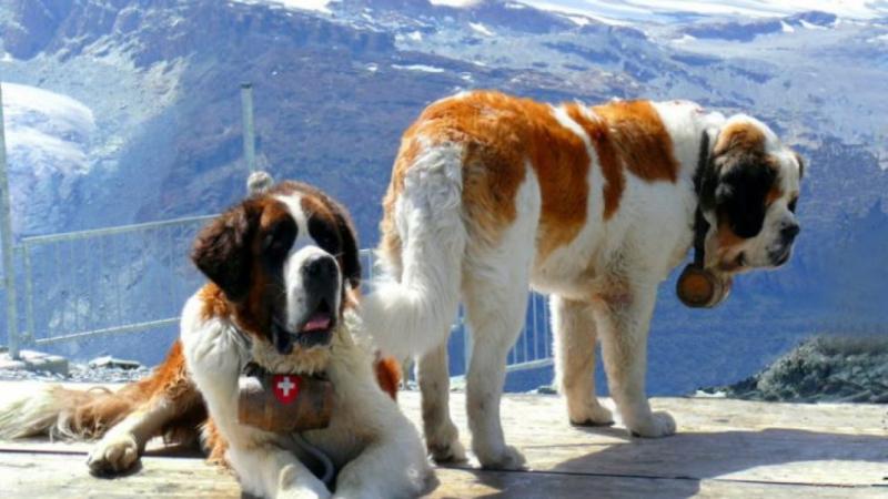 St. Bernard (Chó cứu hộ Thụy Sĩ)
