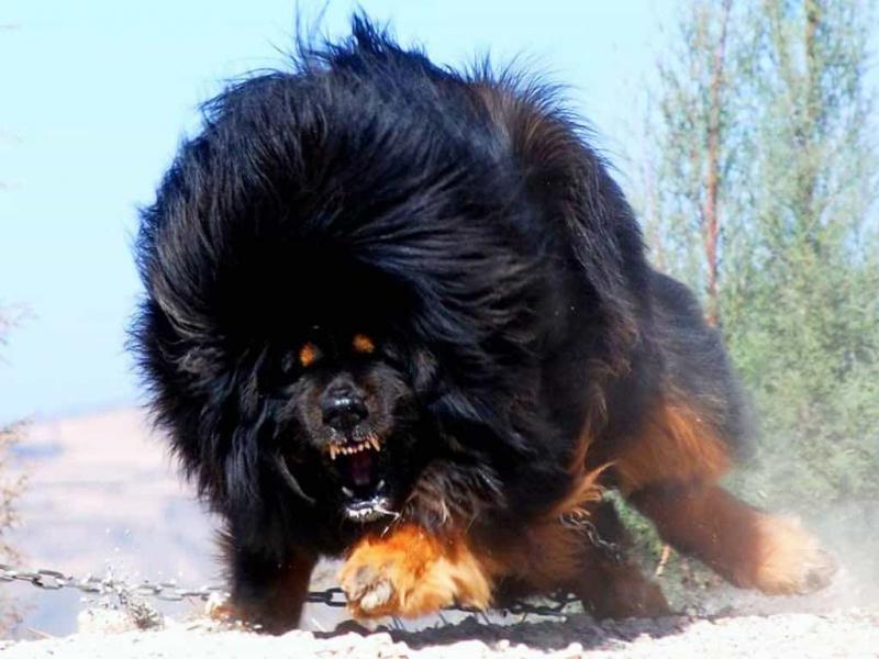 Tibetan Mastiff (Chó ngao Tây Tạng)