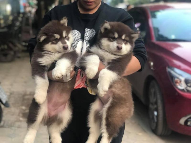 Top 7 địa chỉ mua chó Alaska uy tín tại Việt Nam