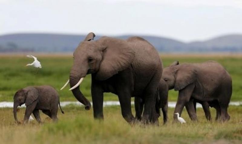 Voi rừng Châu Phi với trọng lượng lên đến 16 tấn, là loài voi giết người nhiều nhất.
