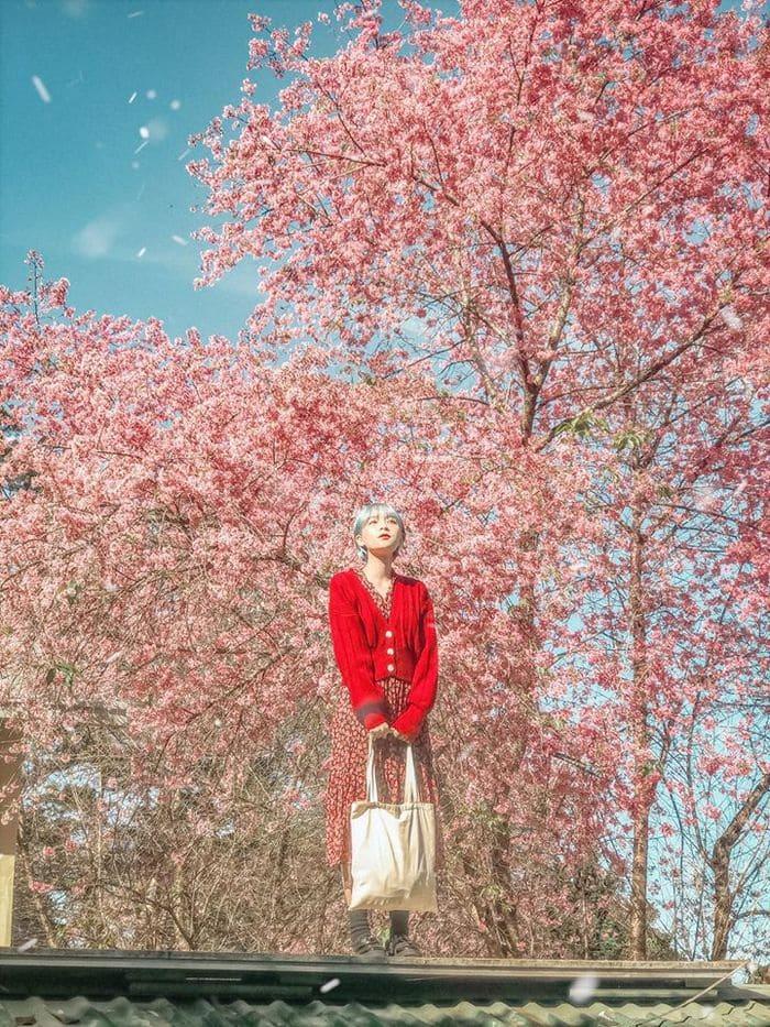 Vườn Anh Đào Mường Phăng là địa điểm lý tưởng để có những bức hình đẹp