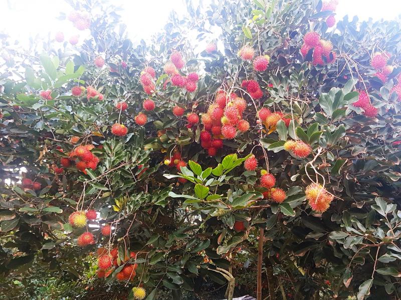 Top 4 Vườn trái cây hấp dẫn ở Tây Ninh