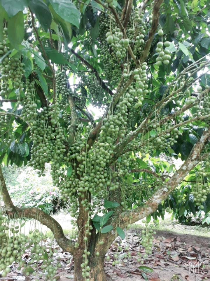 Top 6 Vườn trái cây hấp dẫn ở Tây Ninh