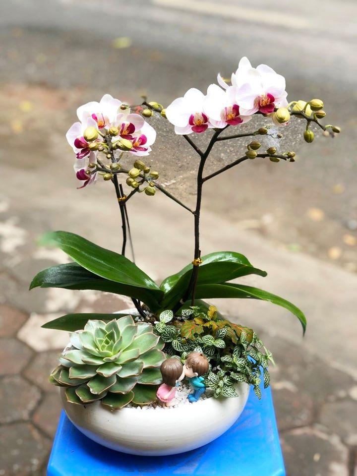Top 9 Địa chỉ bán lan hồ điệp đẹp nhất Hà Nội