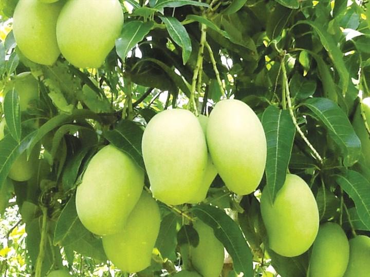 Top 6 Bài văn thuyết minh về loại cây ăn quả mà em biết hay nhất