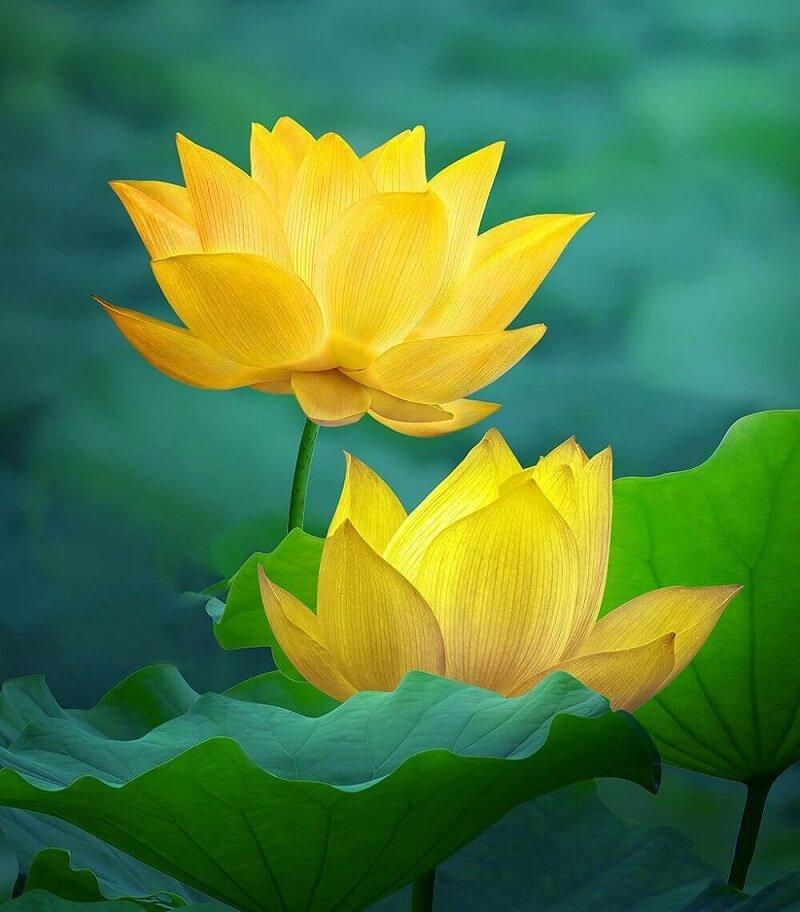 Bài văn tả cảnh đầm sen đang mùa hoa nở số 8