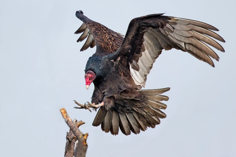 Chim kền kền Thổ Nhĩ Kỳ