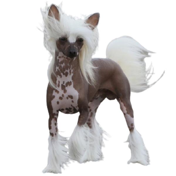Chó có mào Trung Quốc