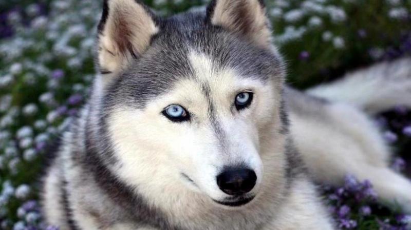 Top 16 Giống chó đẹp nhất thế giới
