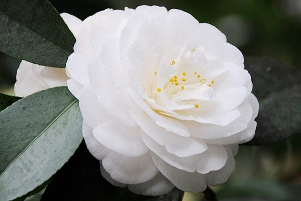 Top 7 Loại hoa trà đẹp nhất hiện nay