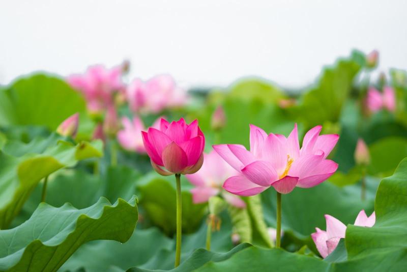 Bài văn tả cảnh đầm sen đang mùa hoa nở số 1