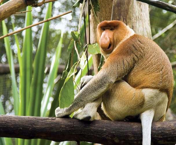 Khỉ Proboscis
