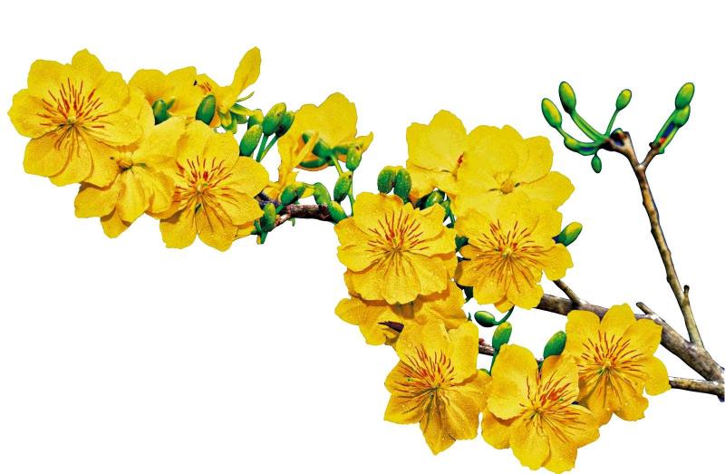 Top 10 Bài văn tả cây mai vào dịp tết đến, xuân về hay nhất (Ngữ Văn 6)