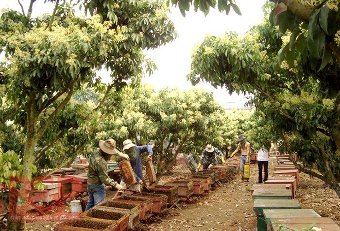 Những người thợ đang lấy mật ong trong vườn vải