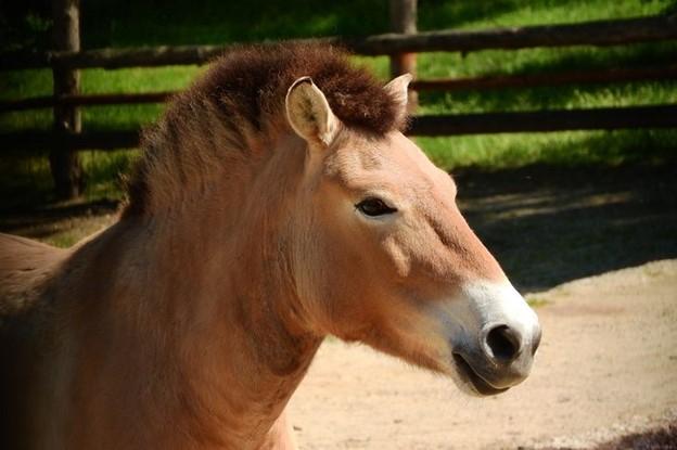 Ngựa Przewalski