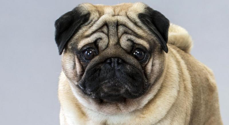 Top 10 Giống chó dễ thương, được yêu thích nhất Việt Nam