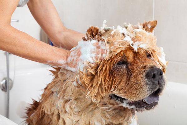 Sữa tắm Hantox giúp diệt sạch và phòng chống bọ chét, bét, ve, chấy, rận, ghẻ ở chó mèo quay lại