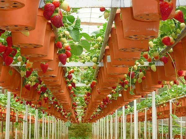 Dâu được trồng và canh tác theo hướng chuẩn Châu Âu