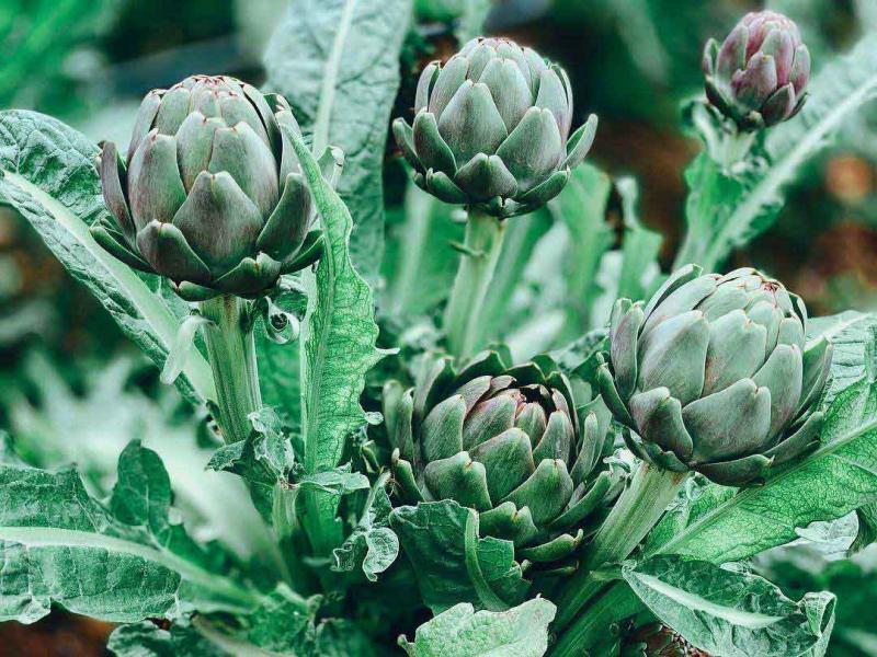 Top 6 Món ăn ngon chế biến từ hoa Atiso mà bạn nên biết