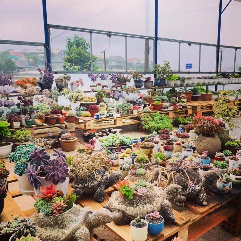 Top 5 Địa chỉ bán sen đá đẹp nhất tỉnh Quảng Ngãi