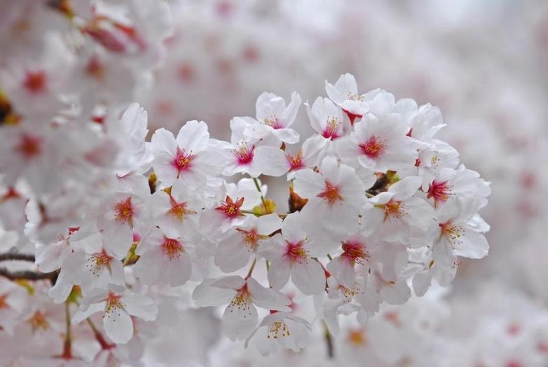 Top 10 Loại hoa anh đào phổ biến nhất ở Nhật Bản