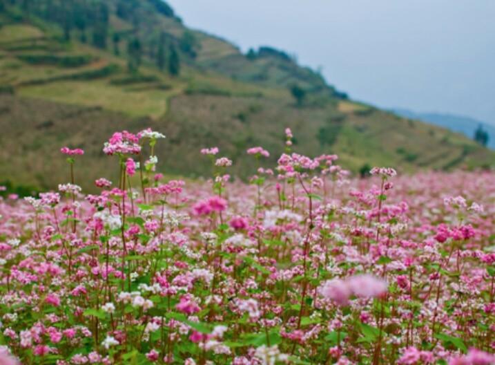 Kết hợp du lịch Sa Pa ghé thăm vườn hoa tam giác mạch cũng khá hợp lí